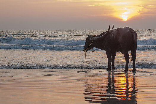 cow-on-the-beach-goa-india-steve-burling